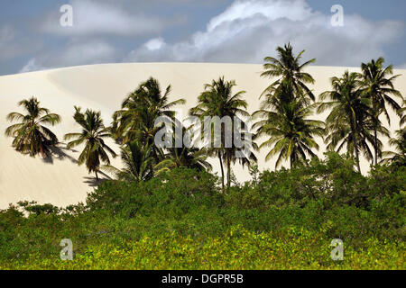 Palm trees in a shifting dune on the beach, Jericoacoara, Ceará, Brazil, South America - Stock Photo