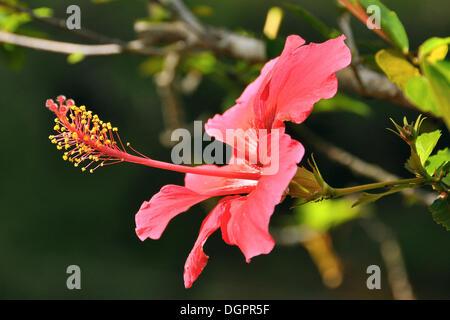 Pink hibiscus (Hibiscus clayi), Chapada Diamantina, Bahia, Brazil, South America - Stock Photo