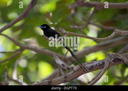 Seychelles black paradise flycatcher on an island in The Seychelles - Stock Photo