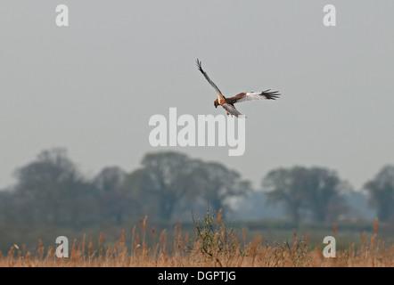 Marsh Harrier- Circus aeruginosus In Flight. Uk - Stock Photo