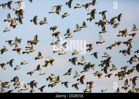 Spanish Sparrow - Passer hispaniolensis - Stock Photo