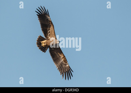Lesser Spotted Eagle - Aquila pomarina - Stock Photo