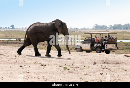 An adult male african elephant approaching tourists on a jeep safari, Chobe National Park, Botswana, Africa - Stock Photo