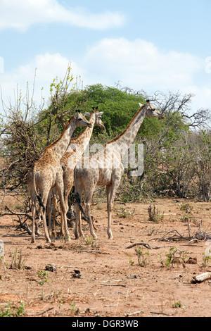 3  Angolan giraffes ( Giraffa camelopardalis Angolensis ) standing in a Tower of giraffes, Chobe national park, - Stock Photo