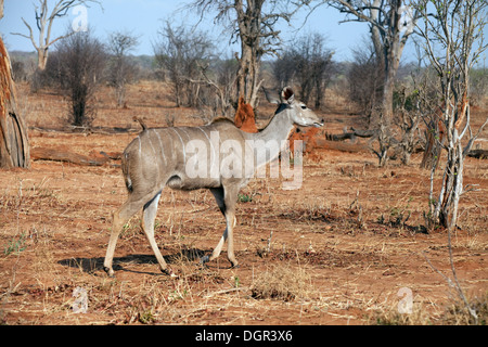 A female Greater  Kudu ( Tragelaphus strepsiceros ), Chobe National park, Botswana, Africa - Stock Photo