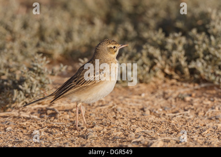 Tawny Pipit - Anthus pratensis - Stock Photo