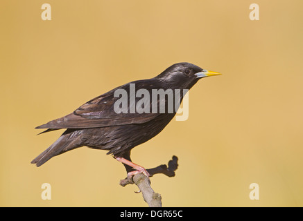 Spotless Starling - Sturnus unicolor - adult, summer - Stock Photo
