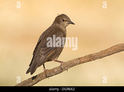 Spotless Starling - Sturnus unicolor - juvenile - Stock Photo