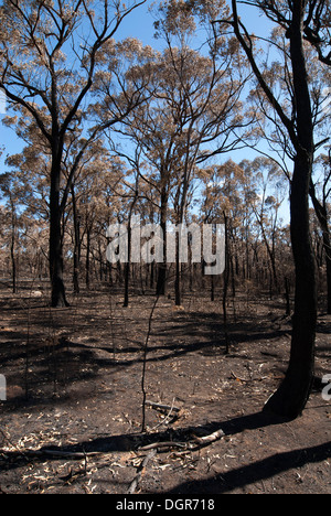This scene, comprising parched earth and burnt trees, was captured following the recent bushfires in New South Wales, - Stock Photo