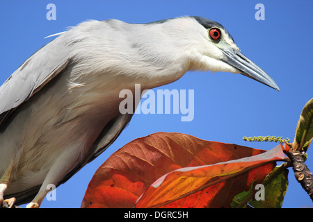 Close-up of black-crowned night heron on tree branch - Stock Photo