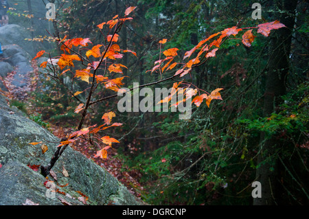 Small tree with autumn colors growing out of rock in forest - Stock Photo