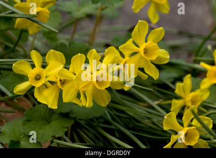 Rush-leaf Jonquils, Narcissus assoanus (formerly N. requienii) wild in the pyrenees, Spain - Stock Photo