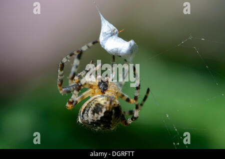 Garden Spider or Cross Orbweaver (Araneus diadematus) packing its prey, near Lassahn, Schaal Lake region - Stock Photo