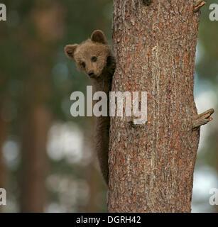 Young brown bear (Ursus arctos), cub, climbing a tree, Karelia, Finland, Europe - Stock Photo