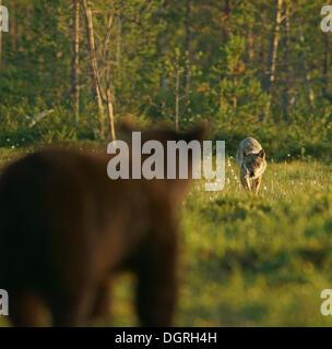 Brown bear (Ursus arctos) and wolf (Canis lupus), encounter, Karelia, Finland, Europe - Stock Photo