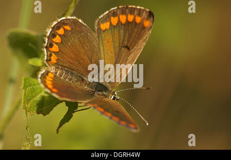 Brown Argus Butterfly (Aricia agestis), Northern Bulgaria, Bulgaria, Europe - Stock Photo