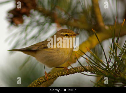 Willow Warbler (Phylloscopus trochilus), Asbach, Bad Hersfeld, Hesse, Germany - Stock Photo