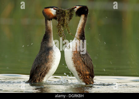 Great Crested Grebe (Podiceps cristatus) pair in courtship, transfer of nesting material, Drosedower Bek - Stock Photo