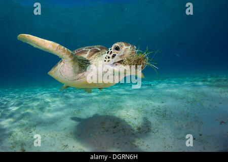 Green Sea Turtle (Chelonia mydas) eating seagrass, Balnek, Busuanga, Philippines, Asia - Stock Photo