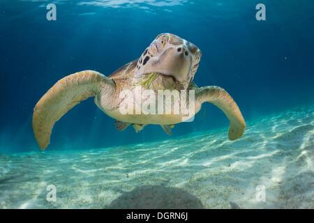 Green Sea Turtle (Chelonia mydas), Balnek, Busuanga, Philippines, Asia - Stock Photo