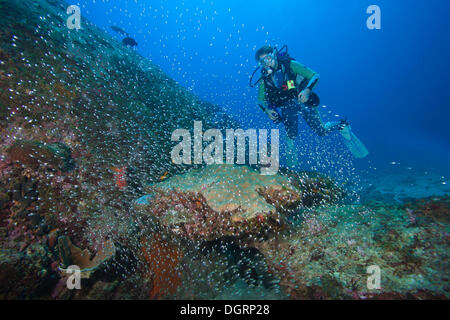 Scuba diver and a shoal of Pigmy Sweepers (Parapriacanthus ransonneti), Richelieu Rock, Thailand - Stock Photo
