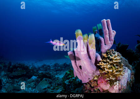 Tube Sponge (Niphates olemda) with Purple Queen Anthias (Pseudanthias tuka), Busuanga, Mimaropa, Philippines - Stock Photo