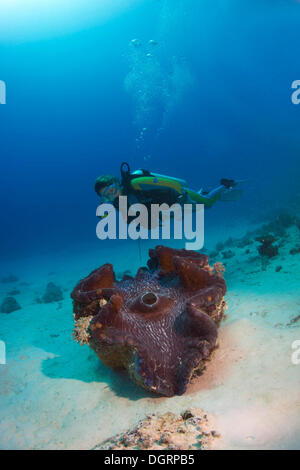 Scuba diver observing a Maxima Clam or Giant Clam (Tridacna maxima), Queensland, Queensland, Australia - Stock Photo
