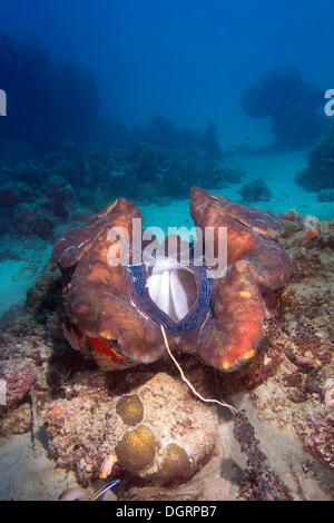 Maxima Clam or Giant Clam (Tridacna maxima), with its breathing hole open, Queensland, Queensland, Australia - Stock Photo