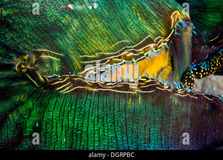 Maxima Clam or Giant Clam (Tridacna maxima), detail of the siphon, Queensland, Queensland, Australia - Stock Photo
