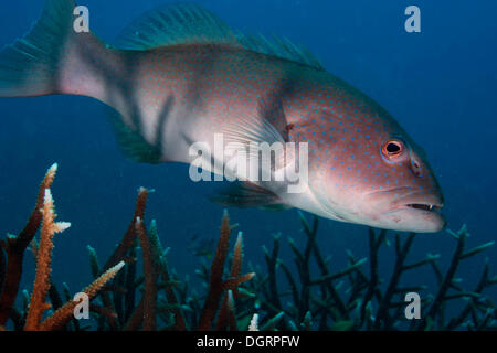 Blue-lined Coral Trout or Highfin Coral Grouper (Plectropomus oligacanthus) in a reef, Balnek, Palawan, Busuanga - Stock Photo
