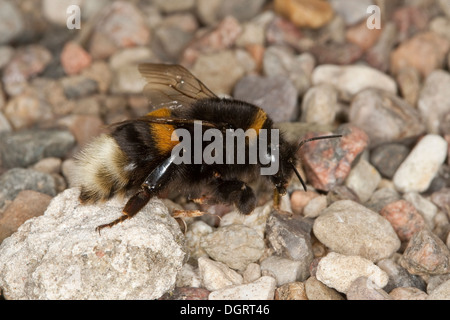 Buff-tailed bumble bee, large earth bumblebee, Dunkle Erdhummel, Porträt, Portrait, Bombus terrestris - Stock Photo
