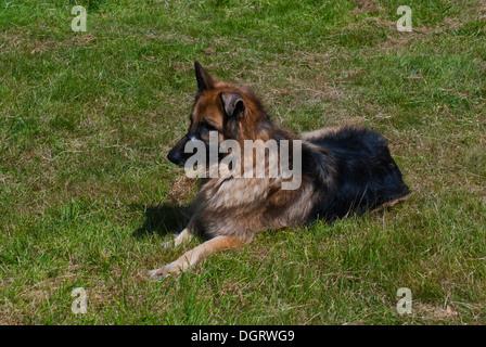Portrait of a beautiful German shepherd or Alsatian dog - Stock Photo