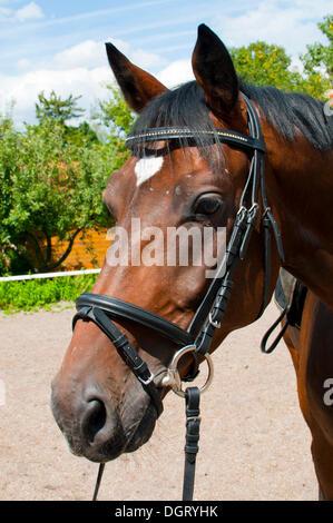 Bridled warmblood horse, Bavaria - Stock Photo