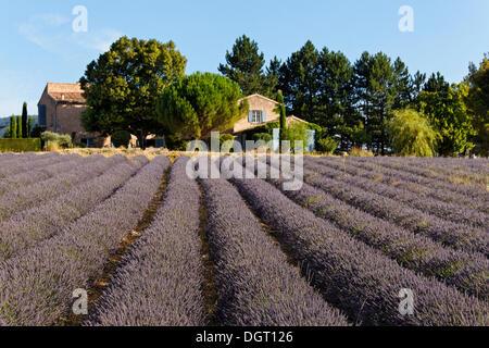 Lavender fields near Sault, Apt, Provence region, Département Vaucluse, France, Europe - Stock Photo
