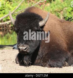 American Bison or Buffalo (bison bison) - Stock Photo