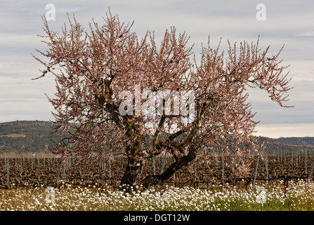 Almond, Prunus amygdalus, at blossom time in early spring. Spain. - Stock Photo