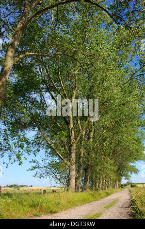 Poplars (Populus) on a dirt road, Kuhlrade, Mecklenburg-Western Pomerania - Stock Photo