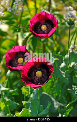 how to grow opium poppies