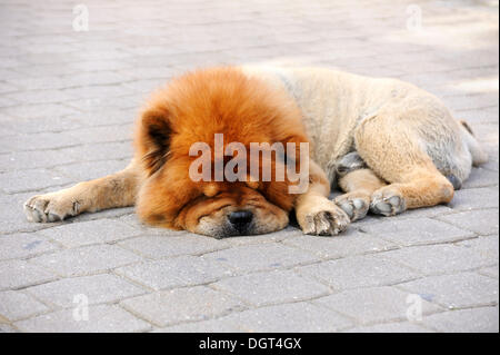 Clipped Chow-Chow sleeping on a pavement, in hot weather - Stock Photo