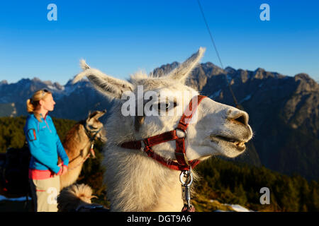 Young woman with llamas, Llama tour on Hochstein Mountain, Upper Lienz, Puster Valley, East Tyrol, Austria, Europe - Stock Photo