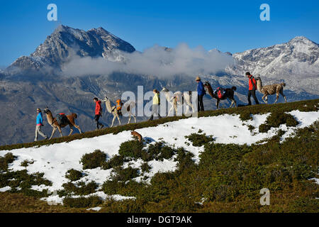 Llama tour to the summit of Boeses Weibele Mountain in the Defregger Group, Carnic Dolomites, Upper Lienz, Puster - Stock Photo