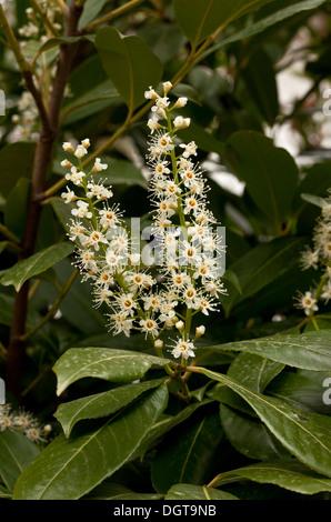 Cherry Laurel, Prunus laurocerasus in flower in spring. - Stock Photo