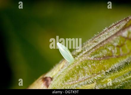 Eggs of Brimstone butterfly, Gonepteryx rhamni on Purging Buckthorn in spring. - Stock Photo