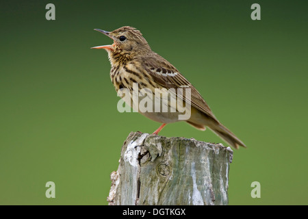 Tree pipit (Anthus trivialis), Lake Neusiedl, Austria, Europe - Stock Photo