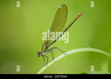Banded demoiselle (Calopteryx splendens), female, Fertő-Hanság National Park, Hungary, Europe - Stock Photo