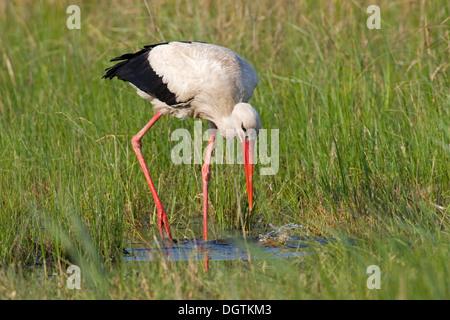 White Stork (Ciconia ciconia), Neusiedler See lake, Burgenland, Austria, Europe - Stock Photo