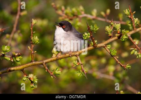 Sardinian Warbler (Sylvia melanocephala), male, Sardinia, Italy, Europe - Stock Photo