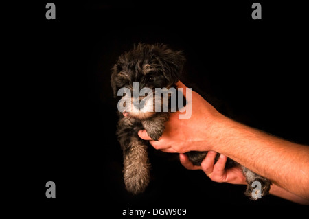 schnauzer puppy in hands isolated on black background - Stock Photo