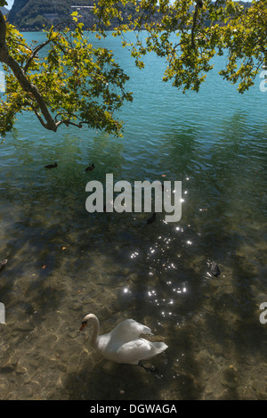 Mute swan resting under a shady tree by Parco Civico, Lugano, Lake Lugano, Ticino, Switzerland. - Stock Photo