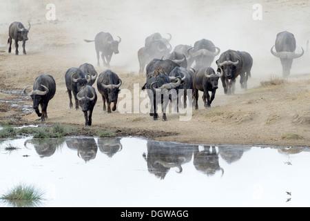 Buffalo herd going to drink. - Stock Photo